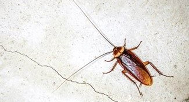 Cockroach Control How To Get Rid Of Cockroaches In Kitchen And - Cockroach in bathroom